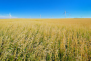 Field of oats<br /> Rosenhof<br /> Saskatchewan<br /> Canada
