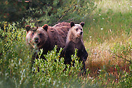 Grizzly 399 and cub, Grand Teton National Park