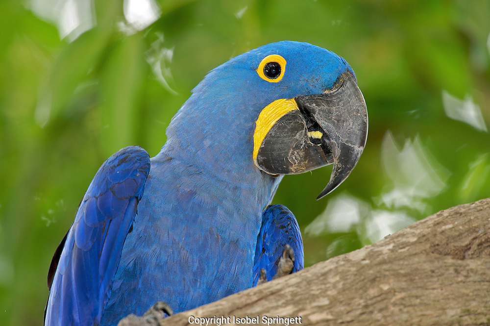 Hyacinth Macaw (Anodorhynchus hyacinthinus) Araras Echo Lodge, Mato Grosso, Brazil (photo: Iaobel Springett)