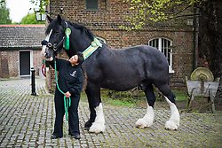 © Licensed to London News Pictures. 14/05/2012. Richmond, UK. Royal Parks Shire horse Jed who will be officially retired tomorrow (May 15) in a ceremony held by The Queen at the stables in Richmond Park in Richmond, London. Jed, who stands at 17.3 hands tall, was born in 1993 and joined The Royal Parks from the Brass Brewery in Burton Upon Trent almost 10 years ago. Pictured here with shire horse staff Sandra Croxall wearing his retirement rosette. Photo credit : Ben Cawthra/LNP