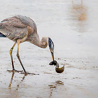 Shore and Wading Birds