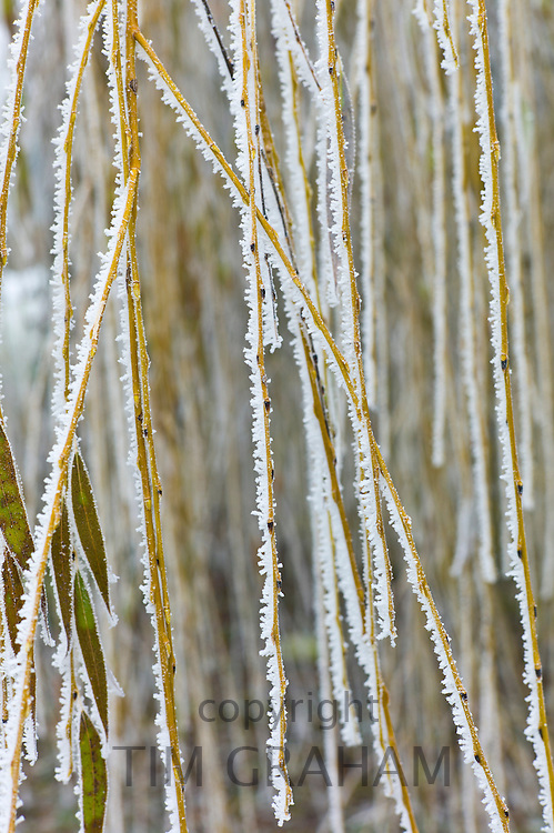 Winter scene hoar frost on Weeping Willow tree branch in The Cotswolds, UK