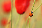 Coccinella septempunctata, the seven-spot ladybird Photographed in Israel