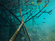 Red Mangrove (Rhizophora mangle)<br /> Puerto Villamil<br /> Isabela Island, <br /> GALAPAGOS,  Ecuador, South America