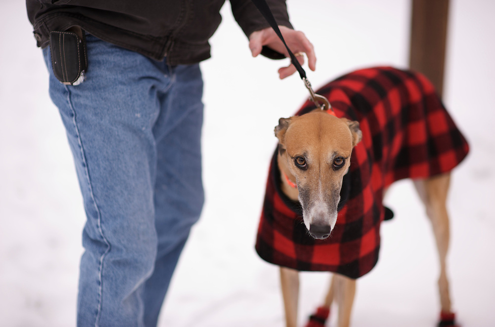 Ella's Snowfall. Greyhound Rescue Fostering