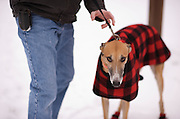 Ella's Snowfall. Greyhound Rescue Fostering
