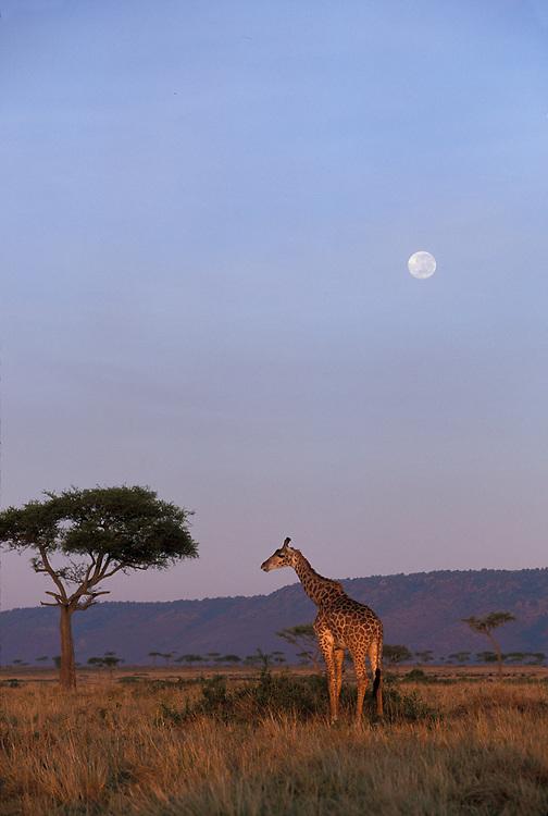 Kenya, Masai Mara Game Reserve, Giraffe (Giraffa camelopardalis) feeding on savanna under full moon at sunrise