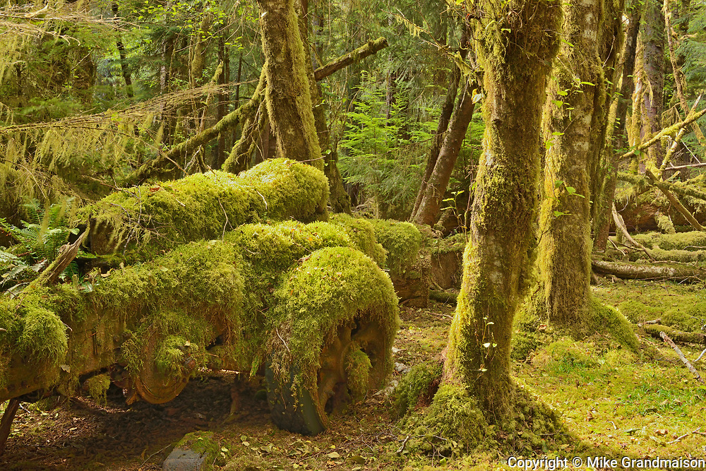 old logging site where Sitka Spruce trees in the early 1940's were harvested for the contruction of mosquito bombers for WW II. Louise Island, Haida Gwaii (formerly the Queen Charlotte Islands), British Columbia, Canada