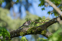 """A female dark-eyed junco perches in a maple tree just south of Seattle Washington with the typical well-defined """"hood"""" found in individuals in the Pacific Northwest."""