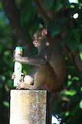 SANYA, CHINA - AUGUST 11: (CHINA OUT) <br /> <br /> Mass Propagation Of Wild Monkeys Brings More Animal Attacks <br /> <br /> A monkey holds a human snack at Luhuitou Park on August 11, 2014 in Sanya, Hainan province of China. Dozens of wild monkeys multiplied to over 700 at Luhuitou Park and attacked tourists especially those who carried food once in a while.<br /> ©Exclusivepix