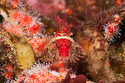 A Scalyhead sculpin, Artedius harringtoni, rests on a bed of strawberry anemones in Campbell River, Vancouver Island, British Columbia, Canada
