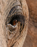 Elephant eye viewed from the front left of the animal, showing long thick eyelashes, deep folds in the eyelids, thick upper eyelash, and brown iris, © 2019 David A. Ponton