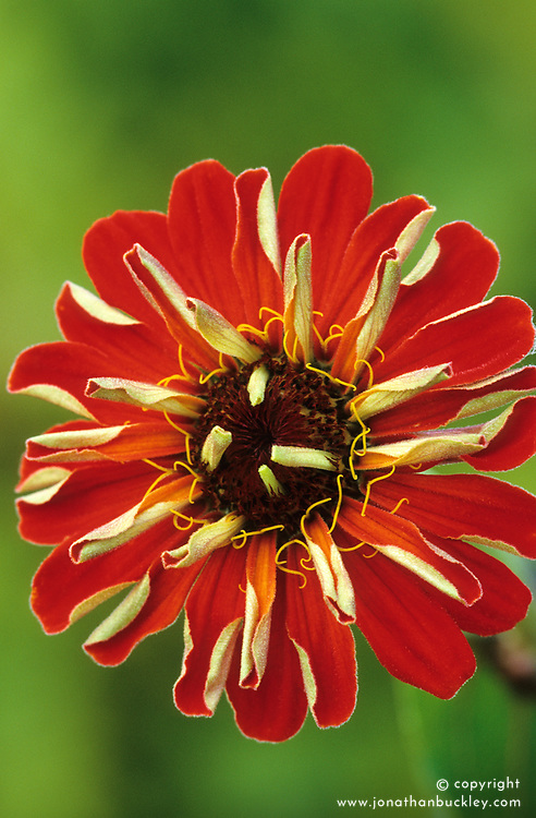 Zinnia Cactus Orange
