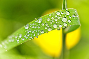 Numerous drops of rain stick to a blade of grass in a yard in Snohomish County, Washington. A yellow buttercup flower is rendered out of focus in the background.
