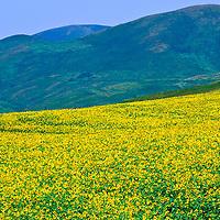 Sunflowers in NE Kazakhstan, Ust-Kamenogorsk region