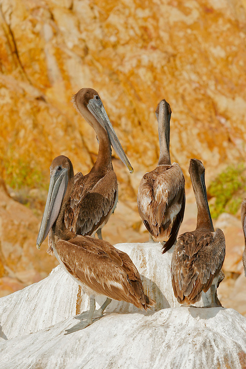 A group of four pelican on a rockmin the bay of Cabo San Lucas