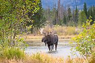 Bull Moose walking through Sprague Lake in the rain