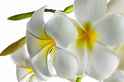 Plumeria alba, Frangipani#7