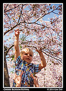 Reaching For The Blossoms<br /> Cherry Blossom Festival - Washington DC<br /> March 13, 2014