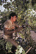 Napa Valley, California. Hand harvesting of red varietals that will be made into wines. Harvest can be sweaty, dirty work.