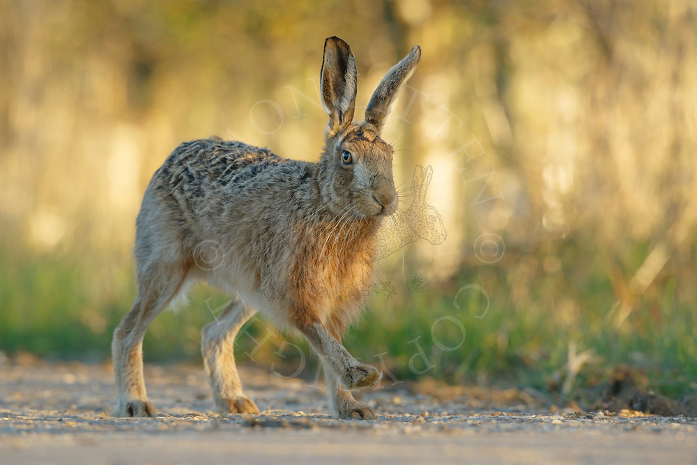 European Hare (Lepus europaeus) adult running along farm track, South Norfolk, UK. March.