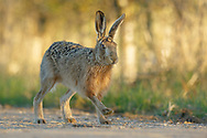 European Hare (Lepus europaeus) adult running along farm track, South Norfolk, UK. March.