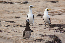A pair of Masked boobies and a Brown booby chick on Adele Island, north of Broome.