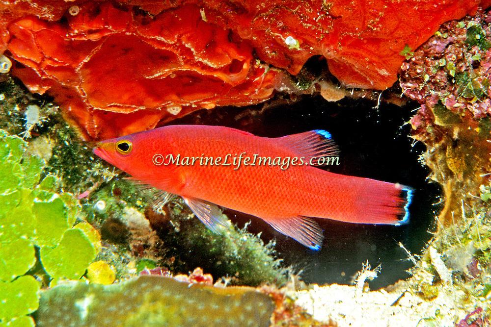 Cave Basslet hide in dark recesses in reefs and walls in Tropical West Atlantic; picture taken Belize.