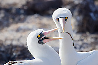 Nazca booby, Sula granti dactylatra nmating on Genovesa Island in Galapagos National Park and Marine Reserve, Ecuador.