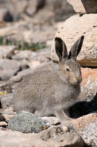 Arctic Hare, Victoria Island, Nunavut, Canada
