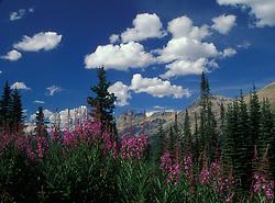canadien rockies; fireweed; scenic; willow herb; flowers; Epilobium augustifolium