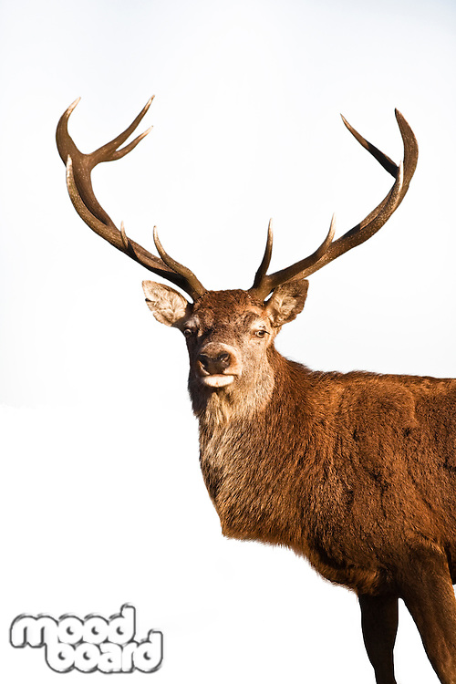 Reindeer standing over white background