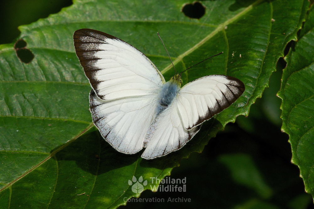 Udaiana cynis cynis, the Forest White, is a butterfly in the Pieridae family. It is found in south-east Asia.