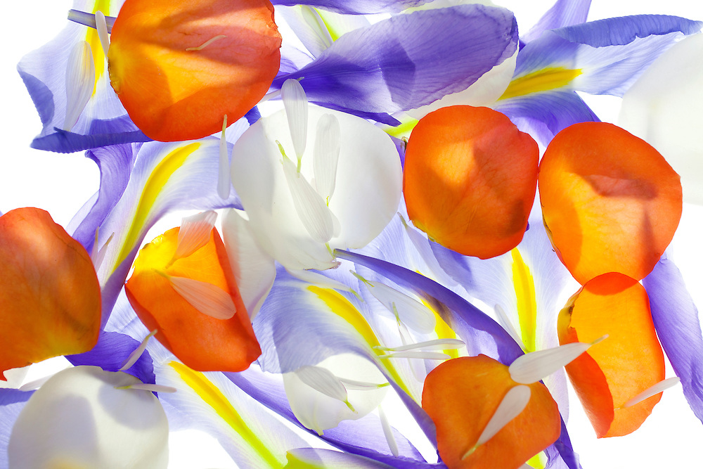 Abstract Floral. Petals from a Rose, an Iris and a Mum.