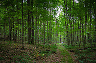 Two men in the distance walk on a path through tall trees in the woods.