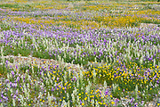 After a rare rainy season in the Judaea Desert and on the shores of the Dead Sea an abundance of wildflowers sprout out and bloom. Photographed on the shores of the Dead Sea, Israel in February