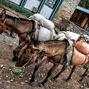 NEPAL. Everest Region, Phakding. May 20th, 2012. Local mountain donkeys.