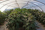 Desert Farming. Eggplants in a greenhouse Photographed in Israel