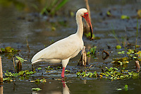 White Ibis Eudocimus albus Arthur R Marshall National Wildlife Reserve Loxahatchee Florida USA