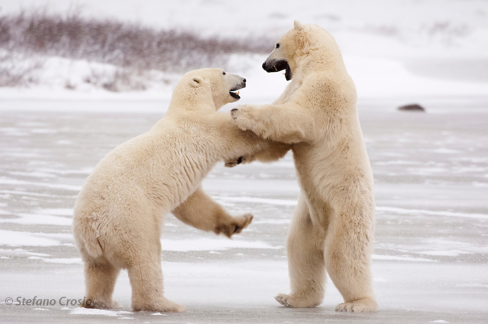 CANADA, Churchill (Hudson Bay).Polar bears (Ursus maritimus) play-fighting