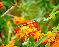 Common Buckeye butterfly feeding on a Marigold flower. Image taken with a Fuji X-T2 camera and 100-400 mm OIS lens