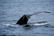 This is a photograph of a Baleen Whale's fluke with water cascading off of it. Taken in Gloucester, Massachusetts.