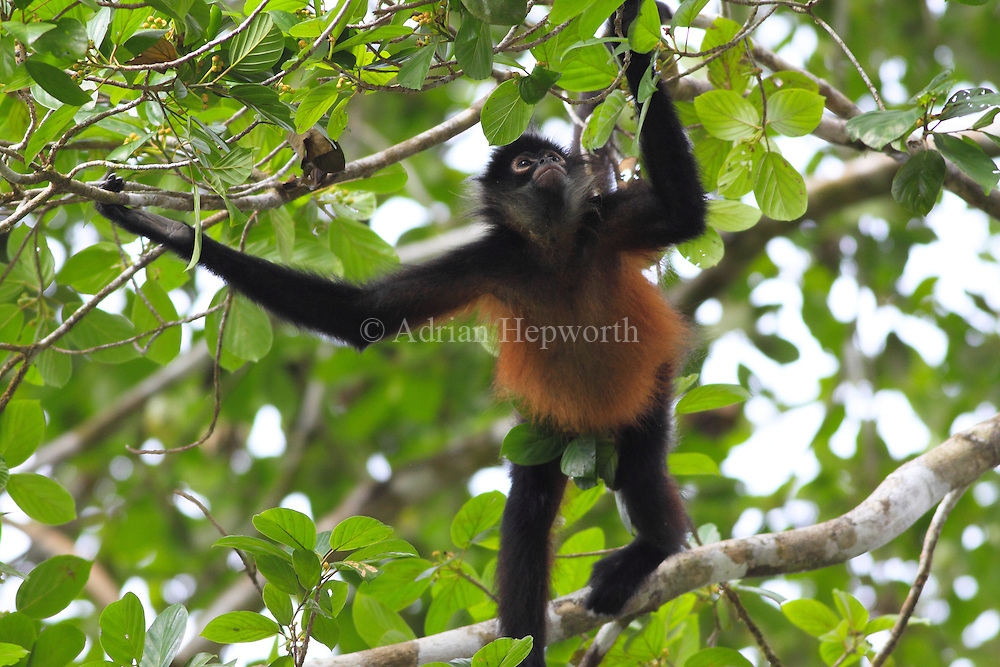 Central American Spider Monkey (Ateles geoffroyi). Corcovado National Park, Osa Peninsula, Costa Rica. <br />