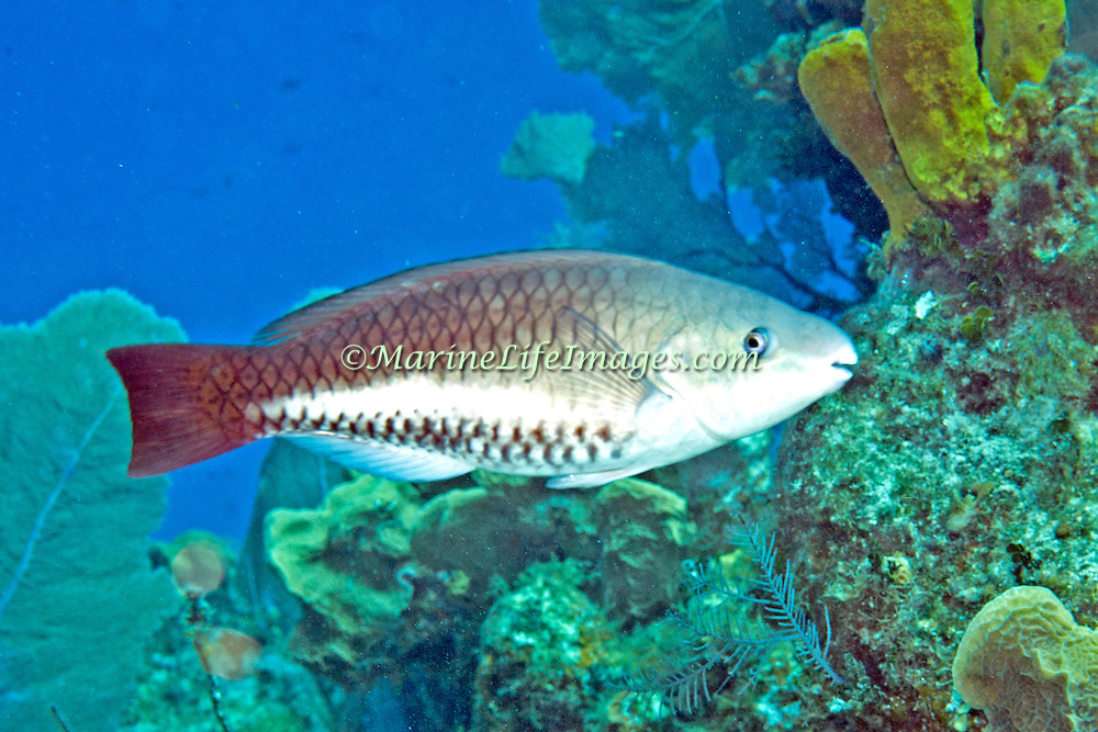 Queen Parrotfish swim about reefs and adjacent areas scrapping filamenmtous algae from hard substrates in  Tropical West Atlantic; picture taken Little Cayman.