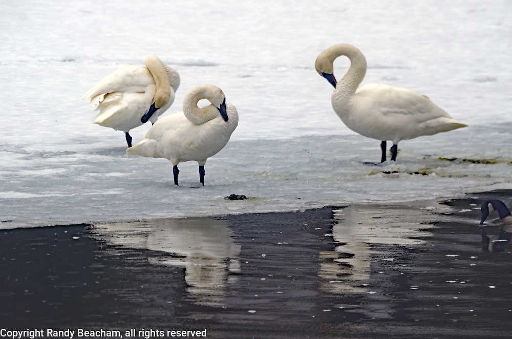Three trumpeter swans preening on an ice shelf on the Yaak River in late winter during an early migration. Yaak Valley in the Purcell Mountains, northwest Montana.