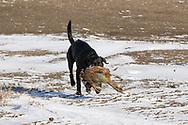 Henry the Black Labrador retriever fetches a  pheasnt in South Dakota