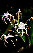 Spider lily, Hawaii<br />