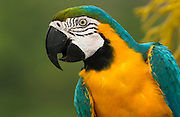 Blue and Yellow Macaw (Ara ararauna)<br /> Amazon Rain Forest<br /> ECUADOR, South America<br /> Range: Panama, Guianas, Trinidad,Colombia south  to Amazonian Brazil, northern Argentina and Paraguay
