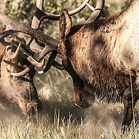 two bull elk fighting, antler puncturing eye