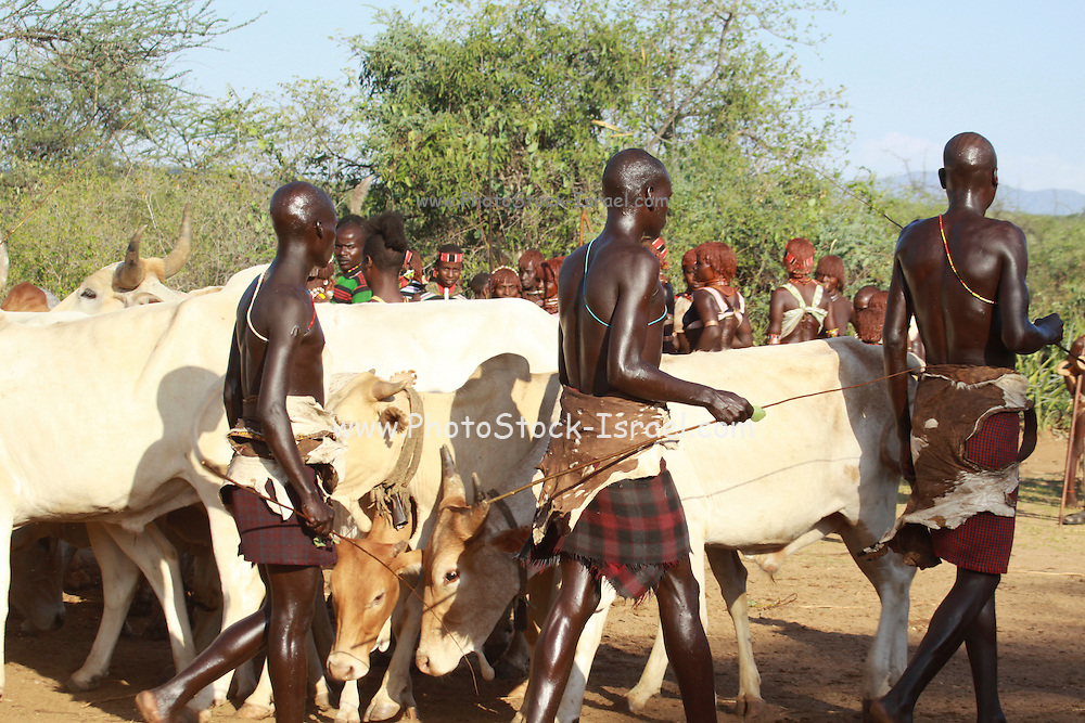 Africa, Ethiopia, Omo River Valley Hamer Tribe The Jumping of the Bulls ceremony. The initiate leaps onto a line of ten or more of his family's bulls and runs along their backs. Lining up the livestock